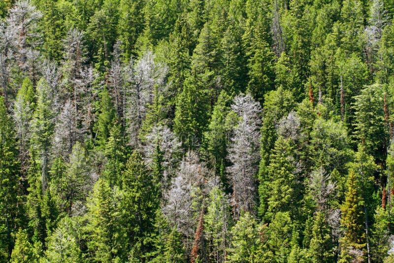 Bighorn Las Państwowy Wyoming obrazy royalty free