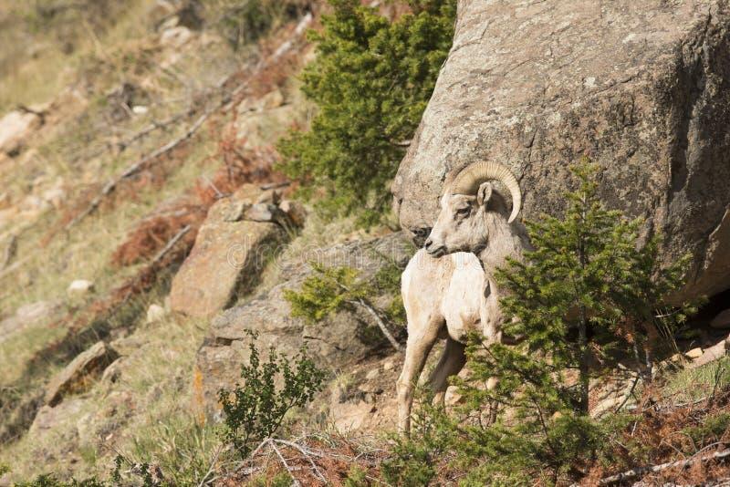 Bighorn-RAM in der Landschaft lizenzfreie stockbilder