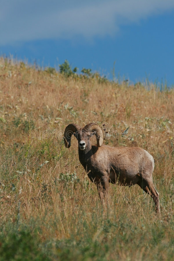 bighorn ram owce obrazy stock