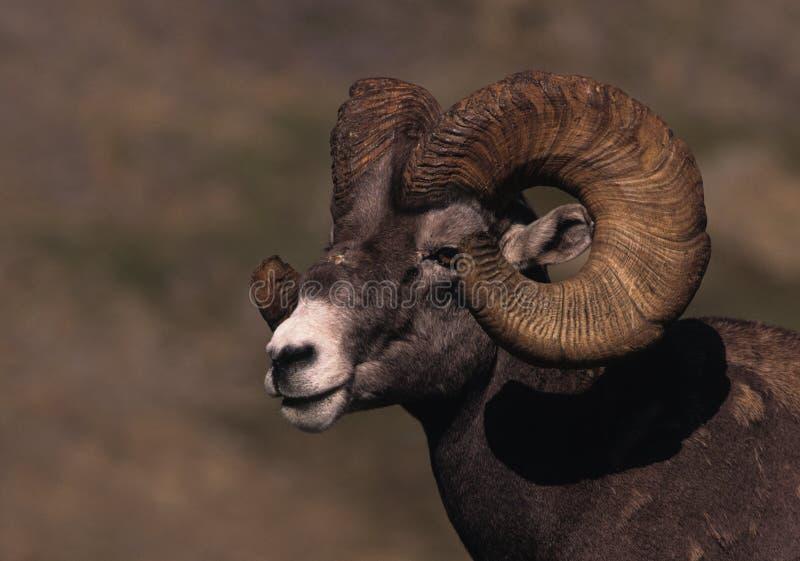 Download Bighorn Ram Portrait stock photo. Image of bighorn, horn - 9277548
