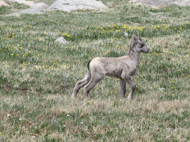 Bighorn-Schaf-Lamm stockfoto