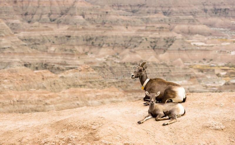 Bighorn-Schaf-Mutter und Kalb GPS, das Kragen-Ödländer aufspürt stockfoto