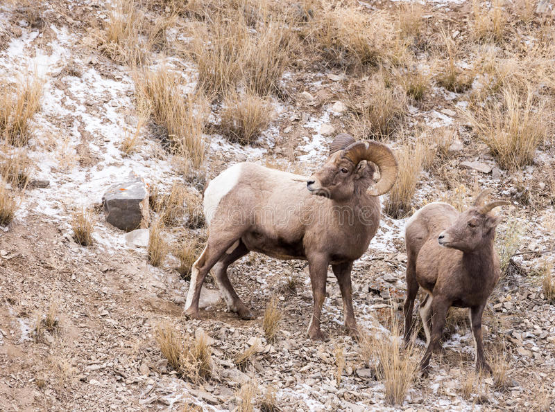 Bighorn-Schaf-Ram und Mutterschaf lizenzfreie stockfotos