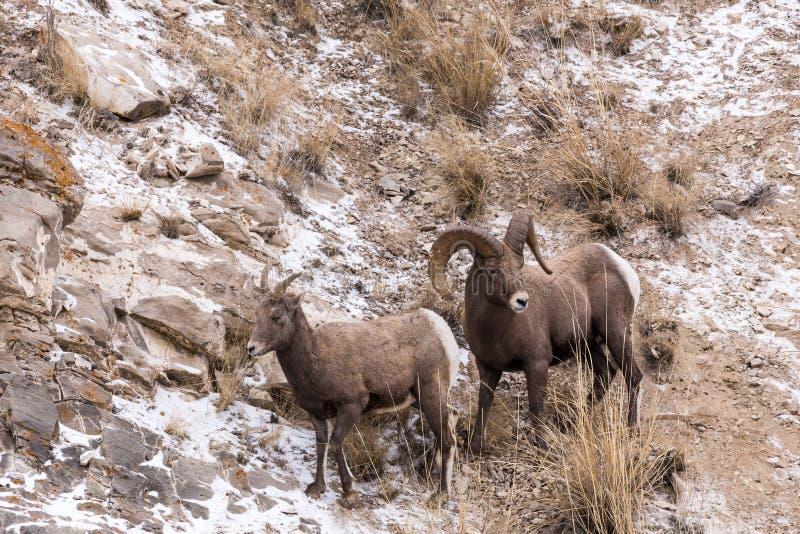 Bighorn-Schaf-Ram und Mutterschaf stockfotos