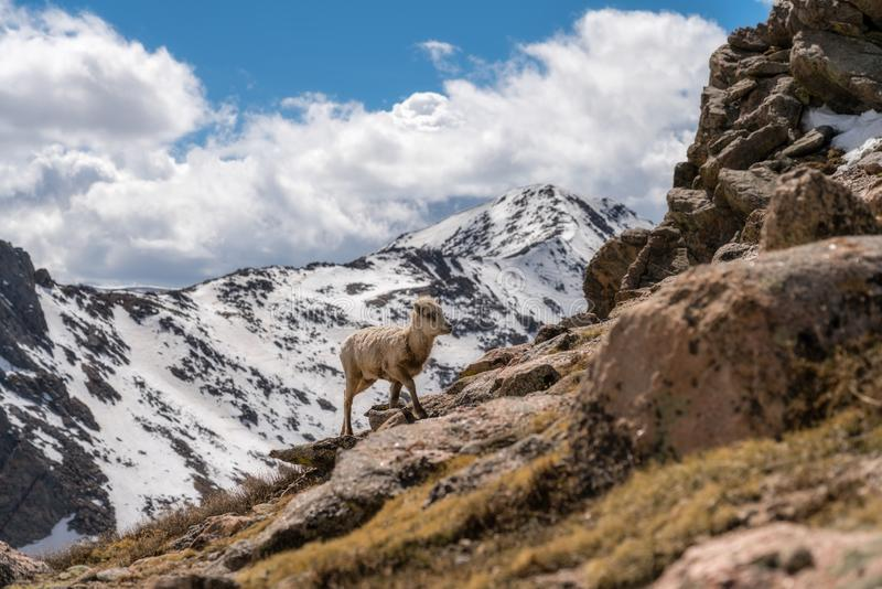 Bighorn-Schafe in Colorado lizenzfreies stockfoto