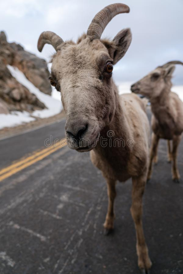 Bighorn-Schafe in Colorado stockbild