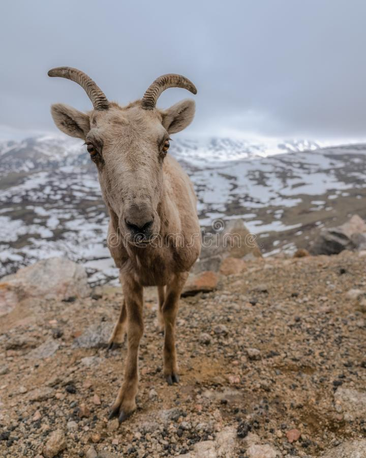 Bighorn-Schafe in Colorado stockfoto