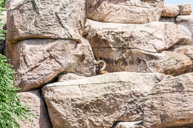 Bighorn-Schafe, die über Felsen auswählen stockfotos