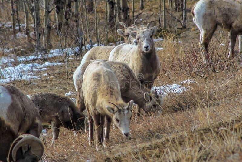 Bighorn-Schafe, die für ein Bild aufwerfen stockfotografie