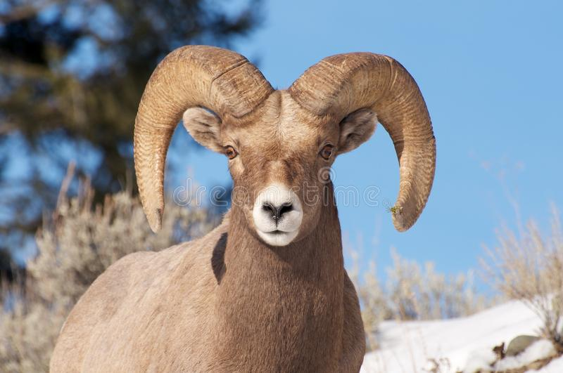 Download Bighorn Sheep stock photo. Image of cold, portrait, white - 17512274