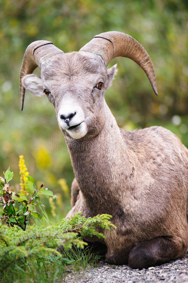 Free Bighorn Sheep Royalty Free Stock Photography - 28403167