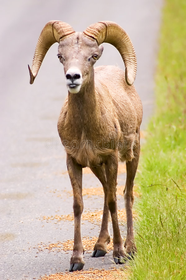 Bighorn Sheep. Standing in the roadway royalty free stock photography