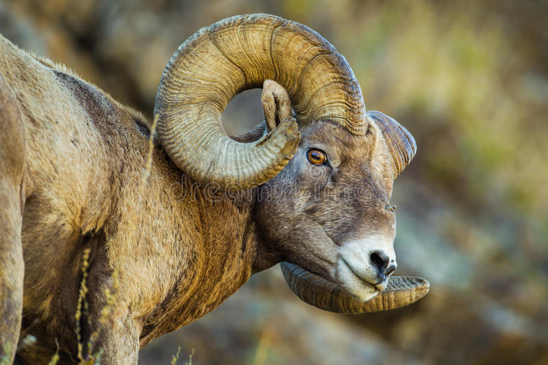 Download Bighorn Sheep stock photo. Image of ovis, america, face - 60922356