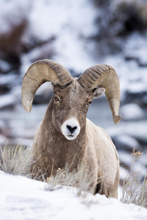 Bighorn Sheep Crests A Hill stock photos