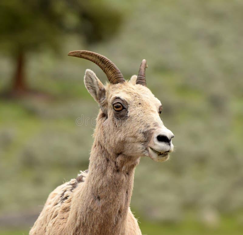 Bighorn sheep - ewe - in natural environment. Ovis canadensis-Bighorn sheep female in natural environment in Wyoming, USA stock image