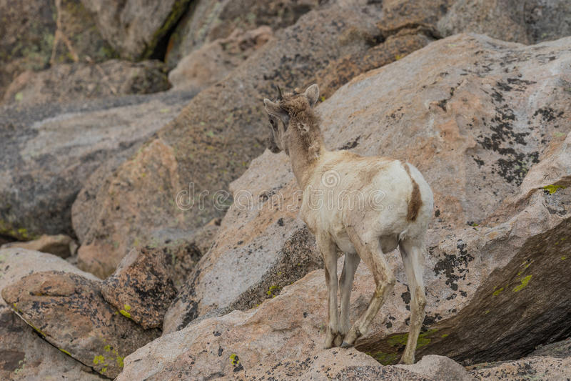 Bighorn Sheep Ewe. A rocky mountain bighorn sheep ewe in the Colorado high country royalty free stock photos