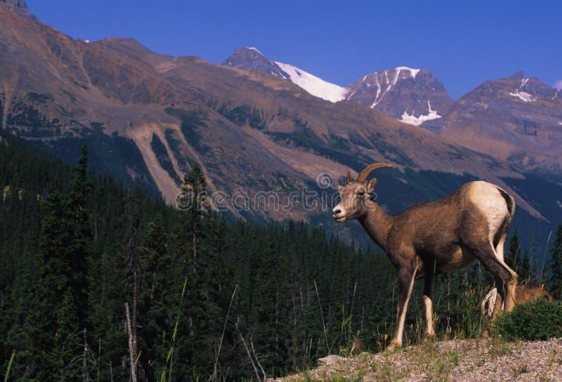 Download Bighorn Sheep Female(ewe) stock image. Image of mountains - 11333669