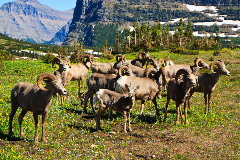 Bighorn sheep in Glacier National Park, Montana