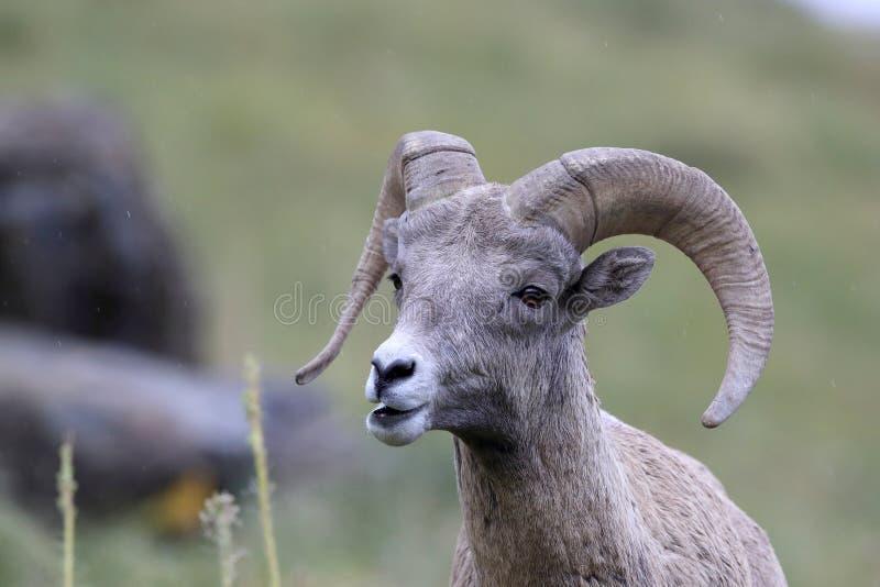 Bighorn Sheep Glacier National Park Montana USA stockfotos