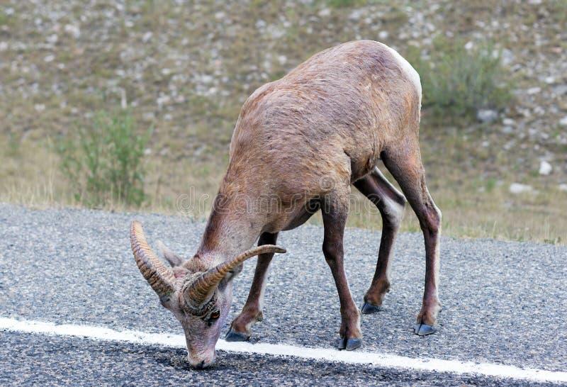 Bighorn sheep licking asphalt stock photos