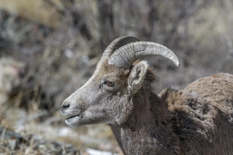 Bighorn sheep looks for food in the winter in the Rocky Mountains, Colorado royalty free stock photos
