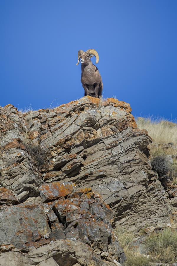 BIGHORN SHEEP IN MEADOW STOCK IMAGE royalty free stock image