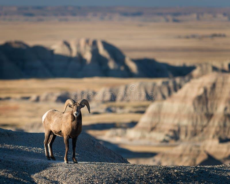 Bighorn Sheep stock images