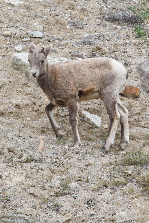 Download Bighorn Sheep, Ovis Canadensis Royalty Free Stock Photography - Image: 18115477