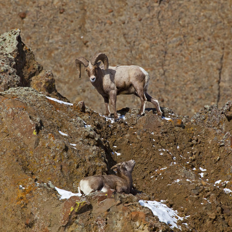 Download Bighorn Sheep Ovis Canadensis Stock Image - Image of ovis, bighorn: 26957125