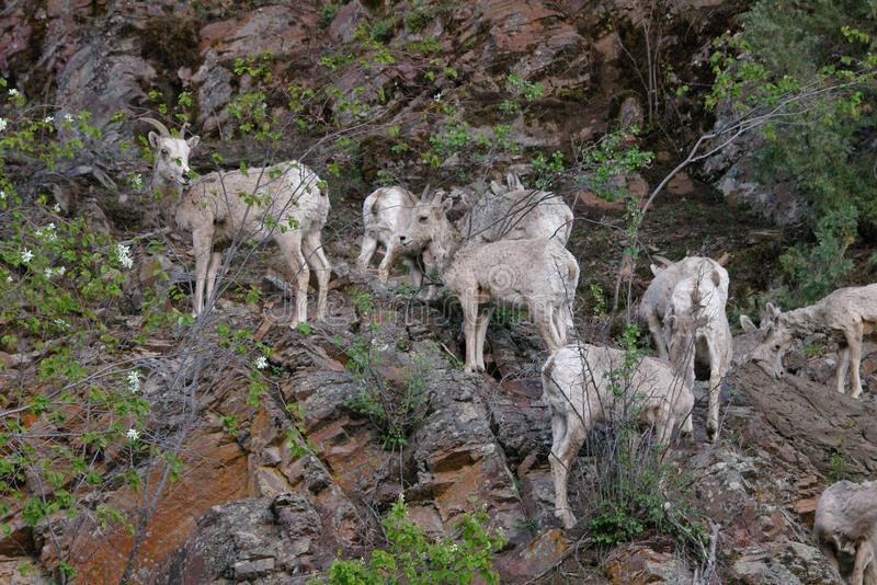 The bighorn sheep Ovis canadensis. [5] is a species of sheep native to North America[6] named for its large horns. These horns can weigh up to 14 kg 30 lb, while royalty free stock images