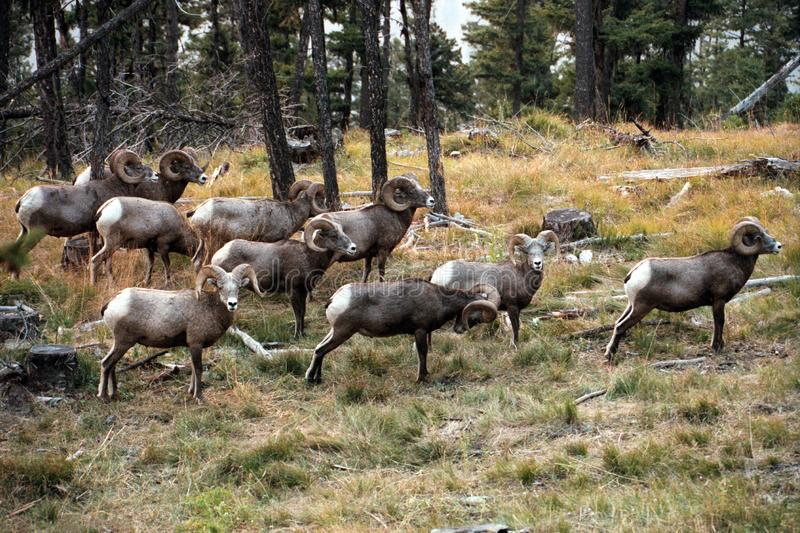 The bighorn sheep Ovis canadensis. [5] is a species of sheep native to North America[6] named for its large horns. These horns can weigh up to 14 kg 30 lb, while royalty free stock photos