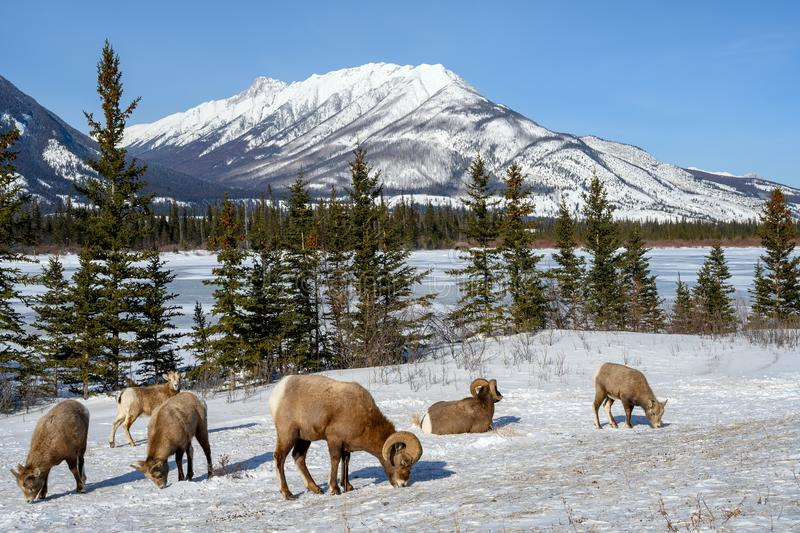 Bighorn sheep Ovis canadensis, Jasper National Park, Alberta, Canada. Bighorn sheep Ovis canadensis in the frozen winter landscape with the Whitecap Mountain in stock photo