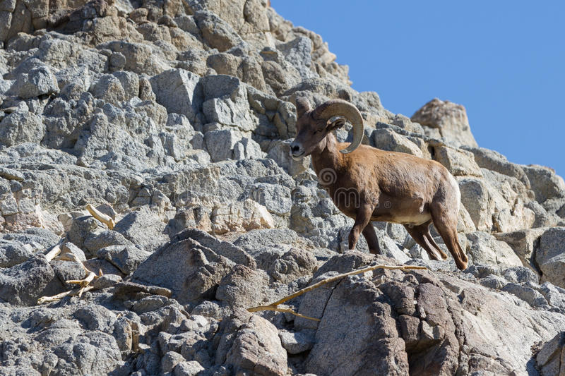 Bighorn sheep - Ovis canadensis nelsoni stock photo