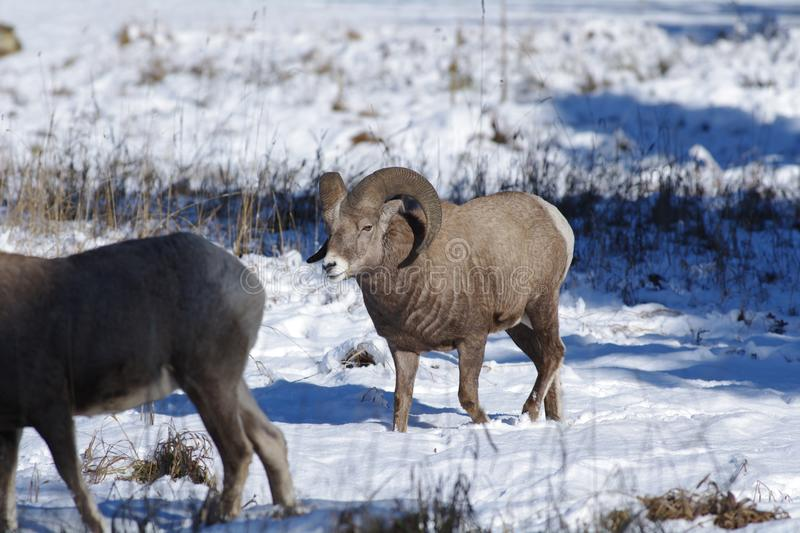 The bighorn sheep Ovis canadensis. [5] is a species of sheep native to North America[6] named for its large horns. These horns can weigh up to 14 kg 30 lb, while stock photos
