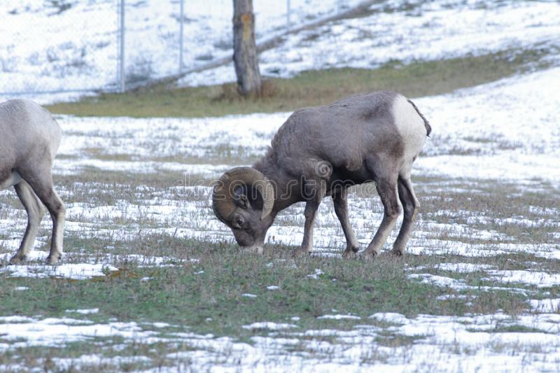 The bighorn sheep Ovis canadensis. [5] is a species of sheep native to North America[6] named for its large horns. These horns can weigh up to 14 kg 30 lb, while stock image