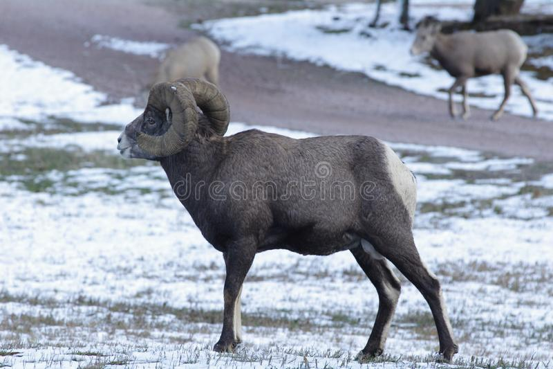 The bighorn sheep Ovis canadensis. [5] is a species of sheep native to North America[6] named for its large horns. These horns can weigh up to 14 kg 30 lb, while royalty free stock image