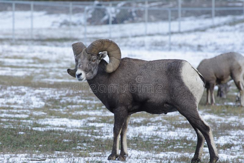 The bighorn sheep Ovis canadensis. [5] is a species of sheep native to North America[6] named for its large horns. These horns can weigh up to 14 kg 30 lb, while stock photo