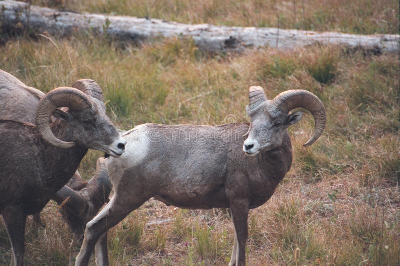 The bighorn sheep Ovis canadensis. [5] is a species of sheep native to North America[6] named for its large horns. These horns can weigh up to 14 kg 30 lb, while stock images