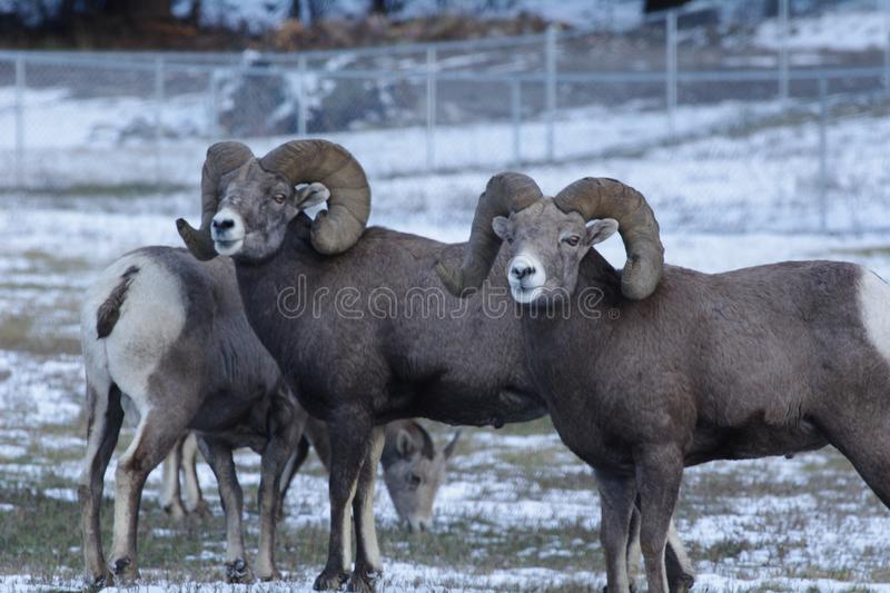 The bighorn sheep Ovis canadensis. [5] is a species of sheep native to North America[6] named for its large horns. These horns can weigh up to 14 kg 30 lb, while stock photography