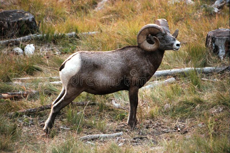 The bighorn sheep Ovis canadensis. [5] is a species of sheep native to North America[6] named for its large horns. These horns can weigh up to 14 kg 30 lb, while royalty free stock photography