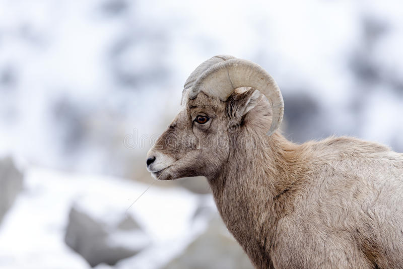 Bighorn Sheep Profile Portrait In Snow royalty free stock photo
