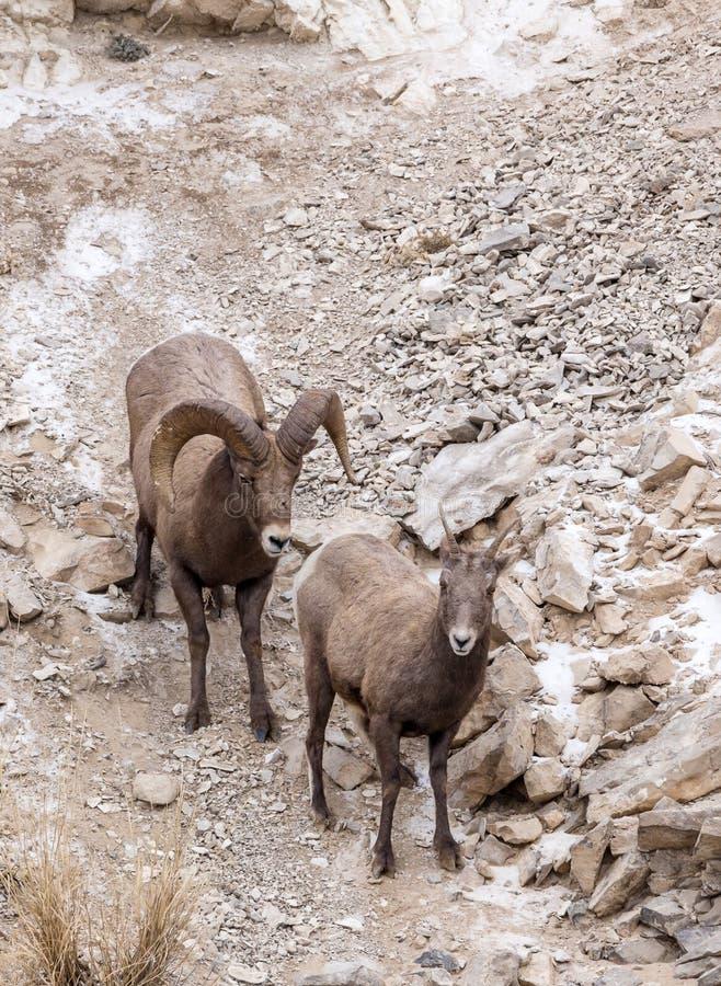 Bighorn Sheep Ram and Ewe. A bighorn sheep ram and ewe during the fall mating season stock photos