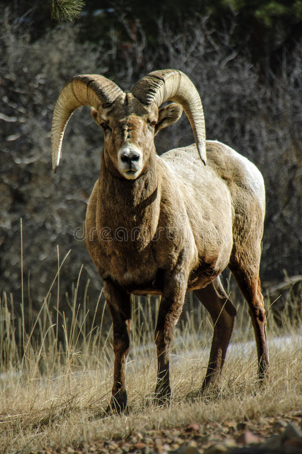 Bighorn Sheep ram gaze. A bighorn sheep ram gazes at the camera at sunset, near Rocky Mountain national park in Estes Park, Colorado royalty free stock photo