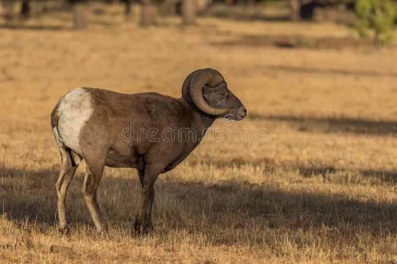 Bighorn Sheep Ram in a Meadow stock photography