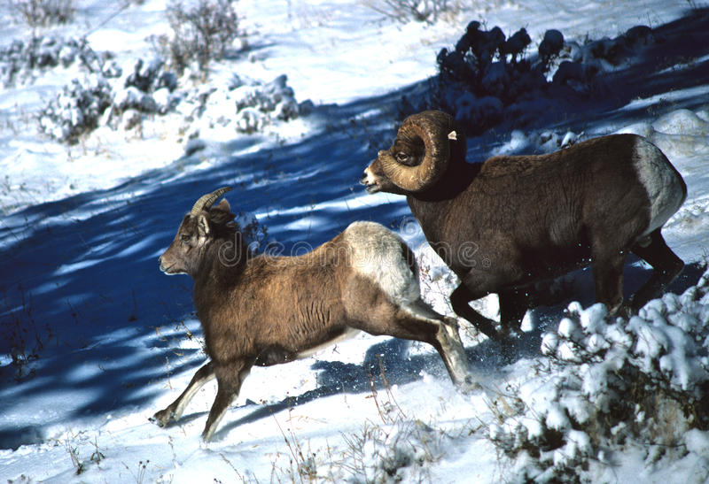 Bighorn Sheep Ram and we Running. A full curl bighorn sheep running with a ewe in snow royalty free stock photo