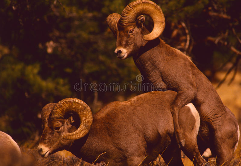 Download Bighorn Sheep Rams stock image. Image of ovis, outdoors - 10125549