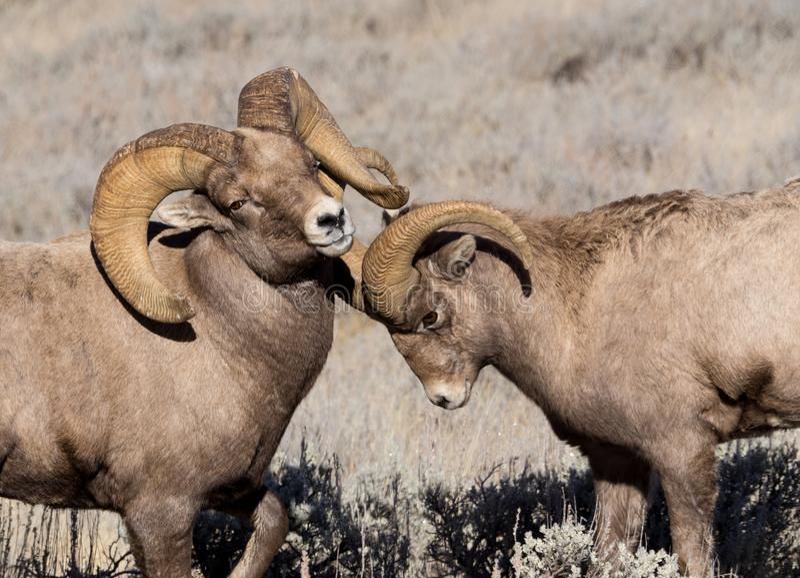 Bighorn Sheep Rams. Two bighorn sheep rams sparring stock photo