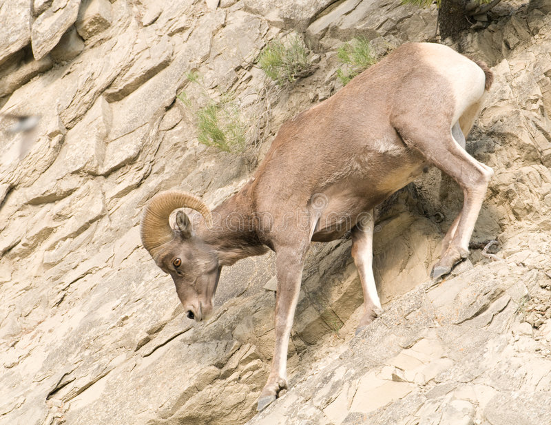 Download Bighorn Sheep On Rocky Hillside Stock Image - Image: 7315689