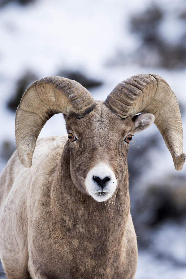 Bighorn Sheep in Snow stock photo