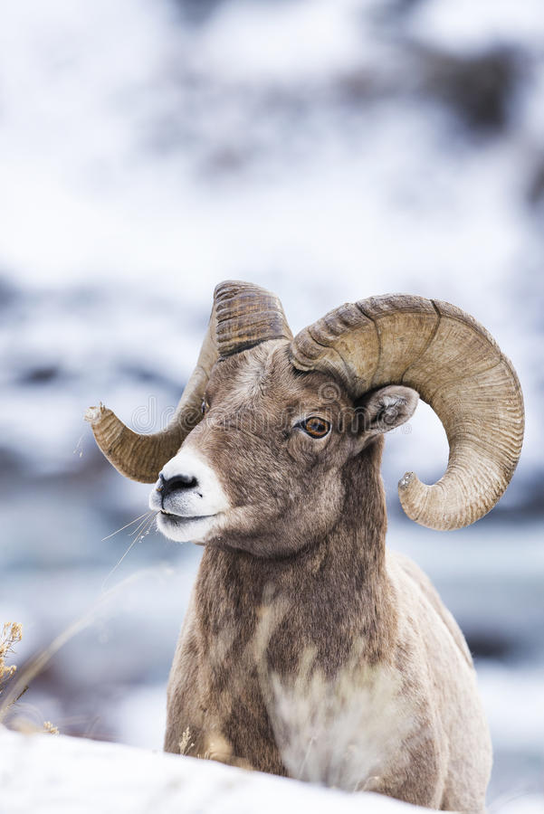 Bighorn Sheep in Snow royalty free stock photos